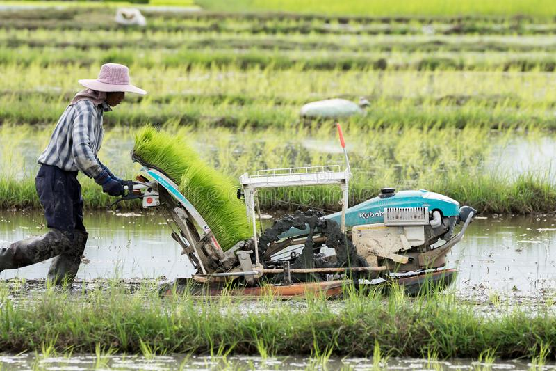 Os fazendeiros estão plantando o arroz na exploração agrícola foto de stock