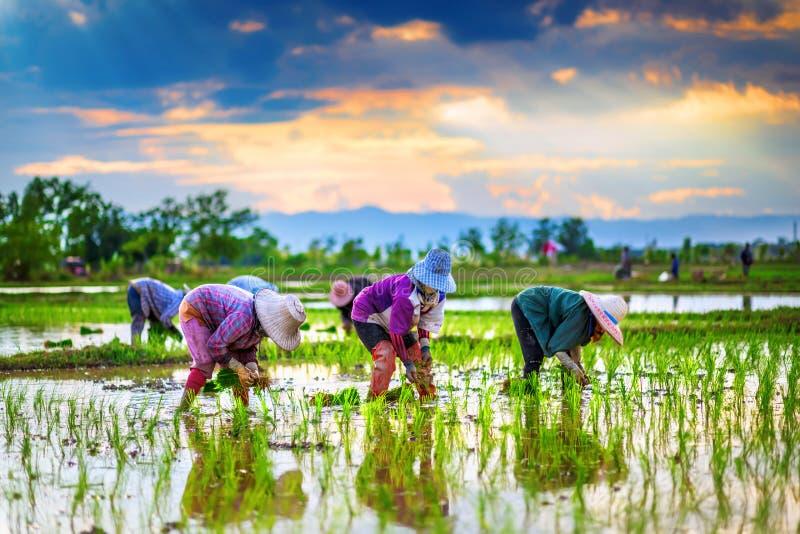 Os fazendeiros estão plantando o arroz na exploração agrícola. fotografia de stock royalty free