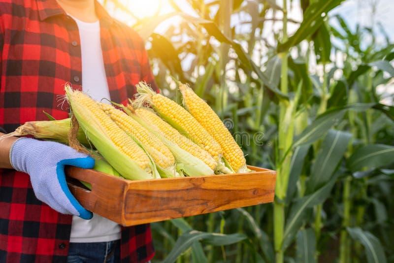 Os fazendeiros guardam o milho doce orgânico, milho doce fresco orgânico colhido em umas caixas de madeira nas mãos dos fazendeir fotos de stock royalty free