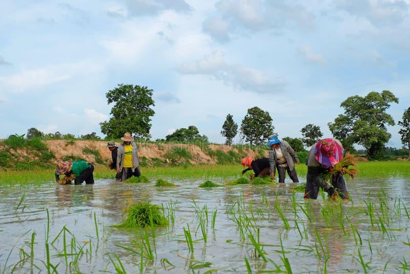 Os fazendeiros tailandeses estão plantando o arroz em julho 18,2016 em Wapi Pathum, Mahasarakham, Tailândia imagens de stock royalty free