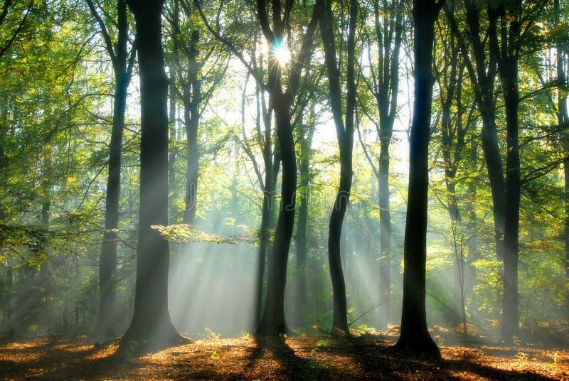 Os feixes de luz derramam através das árvores