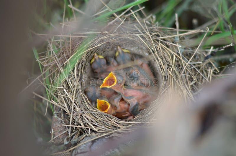 Os filhotes de passarinho do tordo de música no ninho fotografia de stock