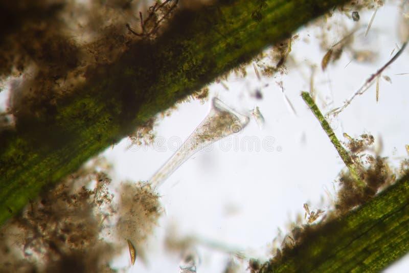 Os filtros polimorfos de Stentor do infusoria de água doce dos iliates do ¡ de Ð molham imagem de stock royalty free