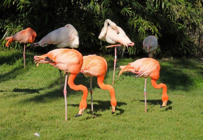 Os flamingos cor-de-rosa pastam na grama imagens de stock royalty free