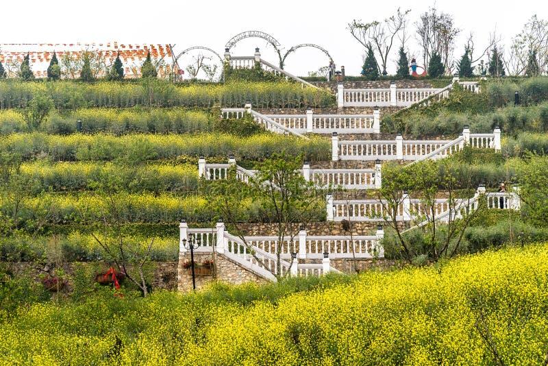 Os florescentes campos de flores amarelas na montanha de pico Fansipan, a montanha mais alta de Indochina, em Sapa, Vietnã imagem de stock
