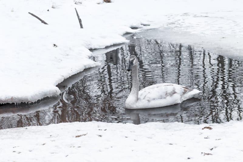Os flutuadores buccinator do Cygnus da cisne de trompetista sairam em Waterhole fotografia de stock
