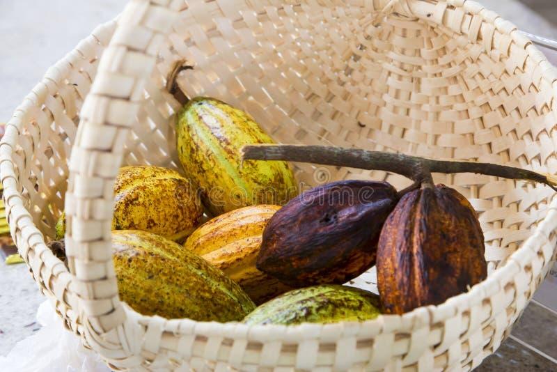 Os frutos do cacau estão na cesta grande imagem de stock