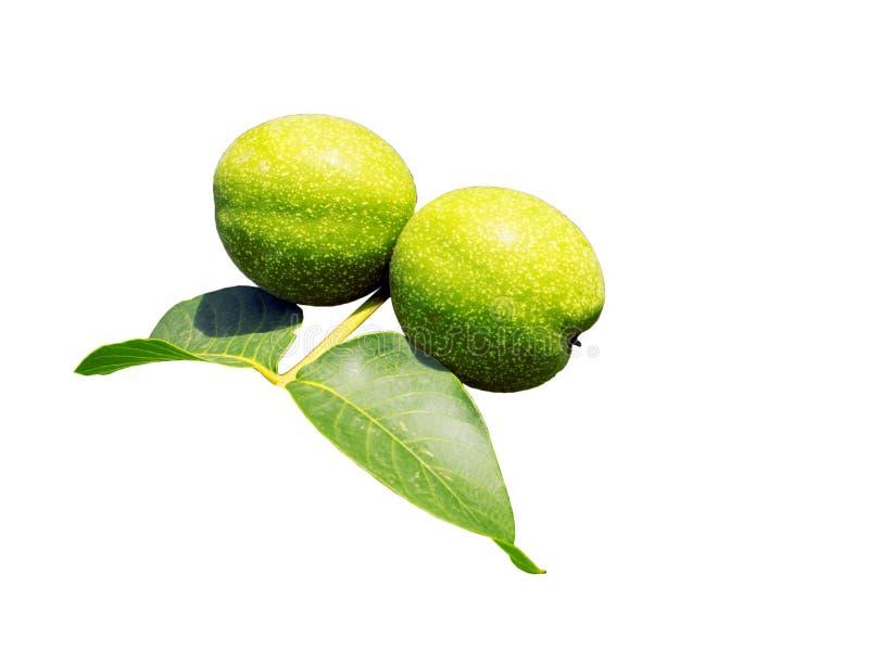 Os frutos do cair verde da noz em um ramo Porca verde nova da árvore de noz fotografia de stock royalty free