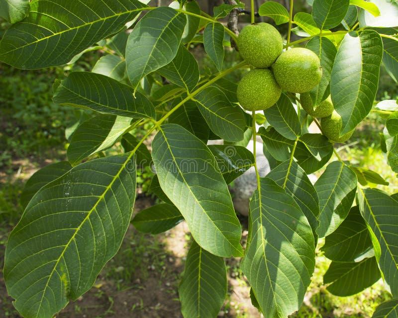 Os frutos do cair verde da noz em um ramo Porca verde nova da árvore de noz foto de stock royalty free