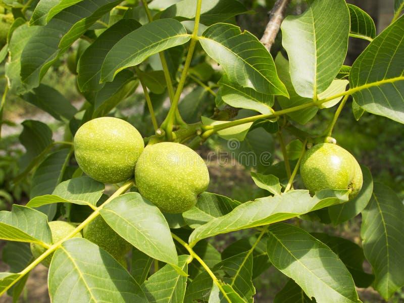 Os frutos do cair verde da noz em um ramo Porca verde nova da árvore de noz imagens de stock royalty free