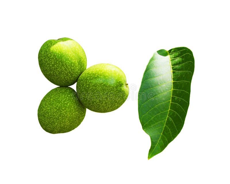 Os frutos do cair verde da noz em um ramo Porca verde nova da árvore de noz imagem de stock royalty free