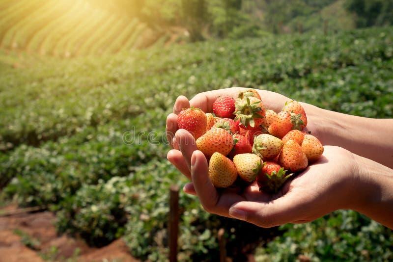 Os frutos frescos da morango nas mãos do ` um s da mulher com morango colocam imagens de stock royalty free