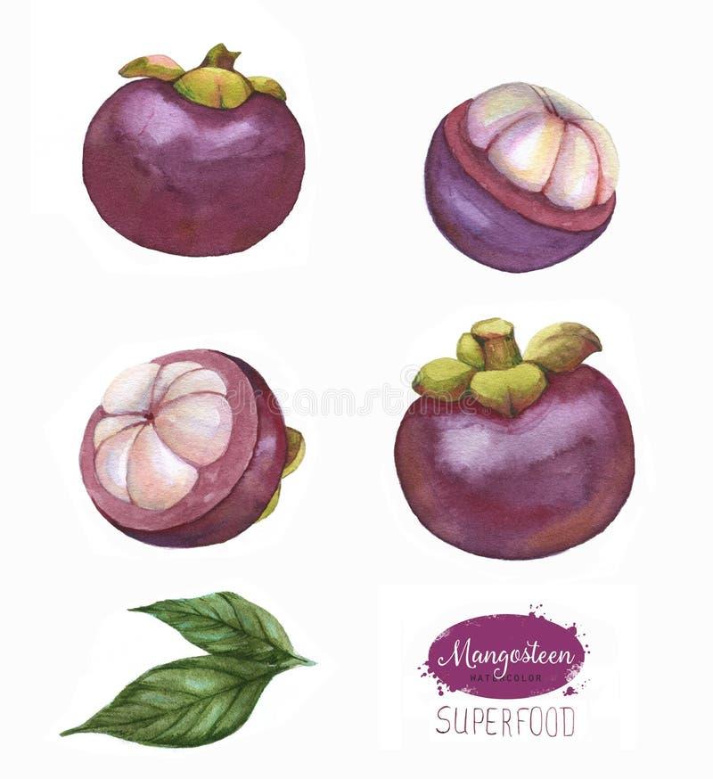 Os frutos tropicais tirados mão da aquarela ajustaram-se, mangustão, fruto exótico, isolado no fundo branco ilustração do vetor