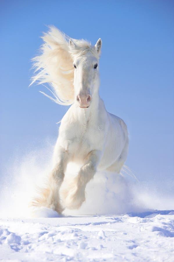 Os funcionamentos do garanhão do cavalo branco galopam no foco dianteiro fotografia de stock royalty free