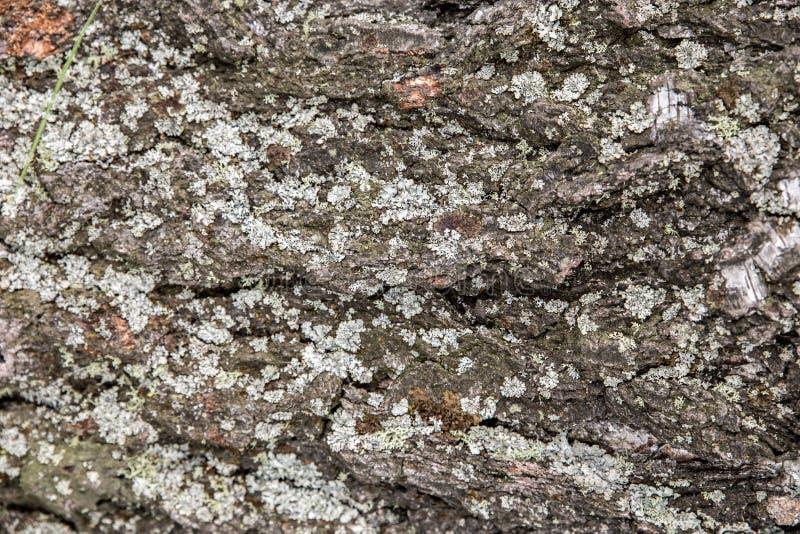 Os fundos de uma origem natural da casca das árvores, álamo ou álamo tremedor, são poluídos pelos esporos das plantas do musgo e  imagens de stock royalty free
