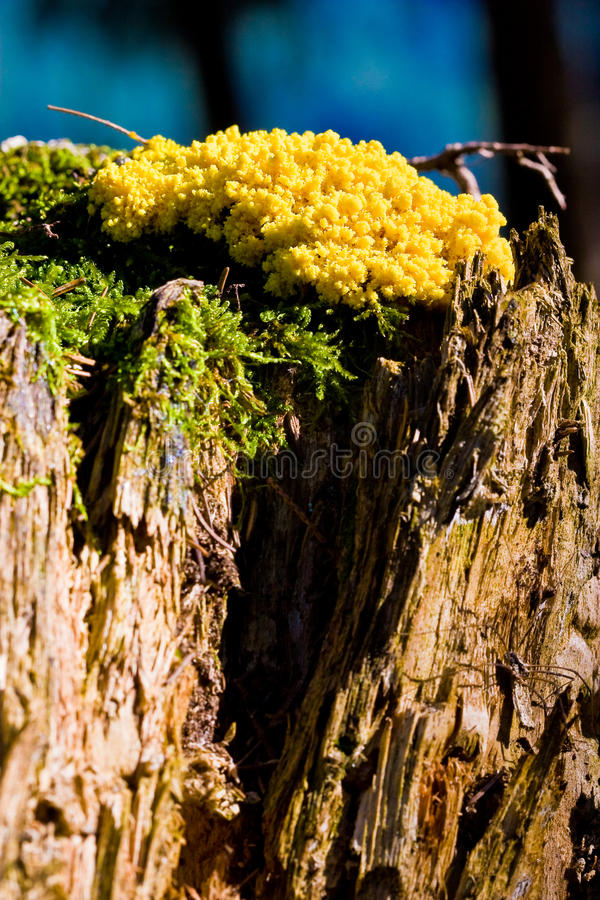 Os fungos amarelos do tinder crescem rapidamente em um tronco de árvore fotografia de stock