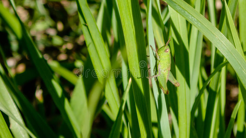 Os gafanhotos verdes são insetos do suborder Caelifera dentro dos ortópteros da ordem, que inclui grilos e katydids imagem de stock