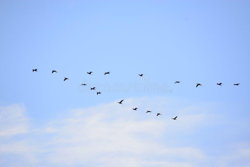 Os gansos canadenses reunem-se em seu norte da parte traseira do voo de Amelia Island, Florida imagem de stock