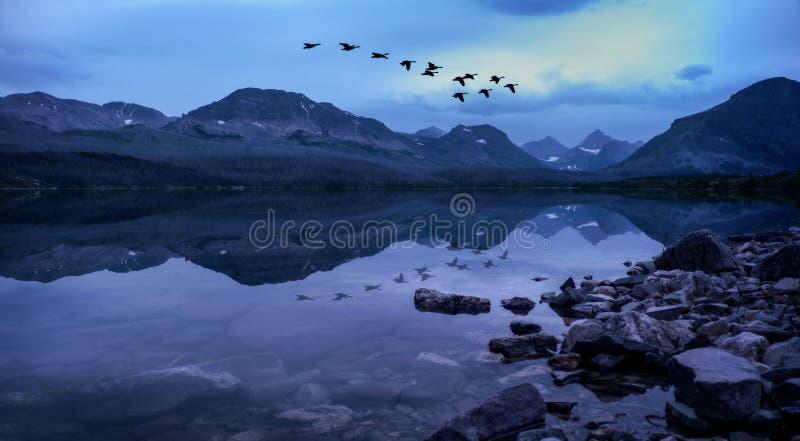Os gansos canadenses voam na formação sobre as montanhas épicos refletidas no lago st Mary do parque nacional de geleira fotografia de stock