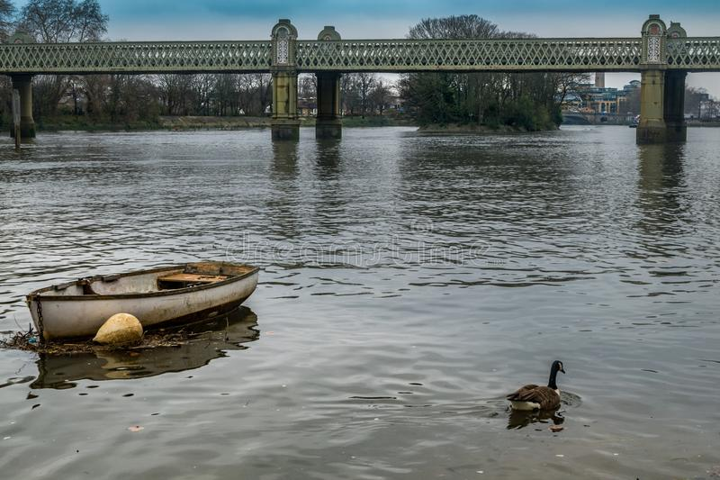 Os gansos de Canadá nadam perto de um barco de enfileiramento estacionado nas águas da Tamisa foto de stock