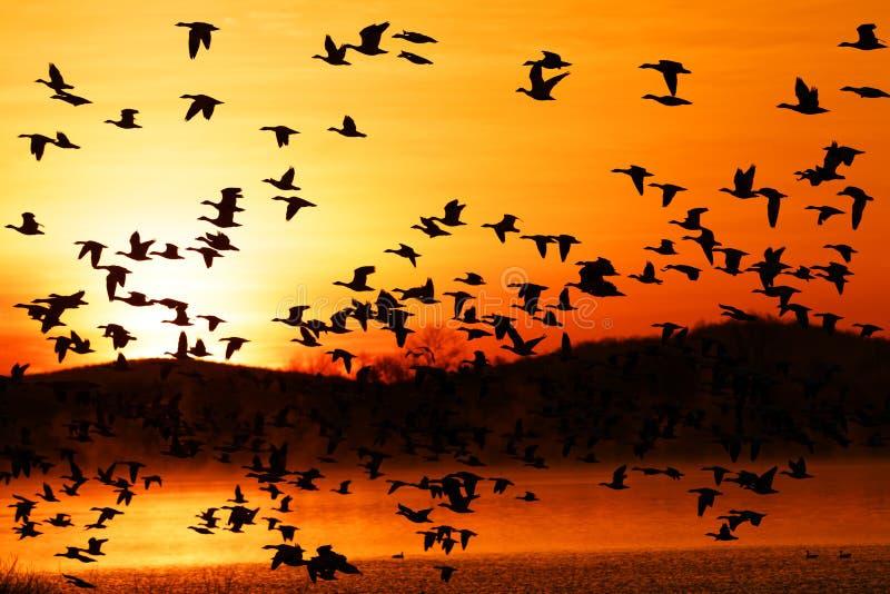Os gansos de neve da migração voam no nascer do sol foto de stock royalty free