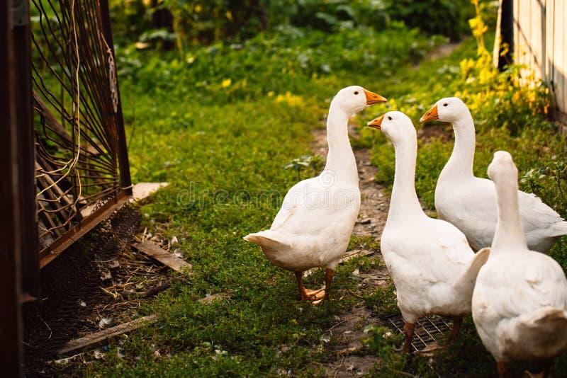 Os gansos em uma vila andam no gramado fotografia de stock
