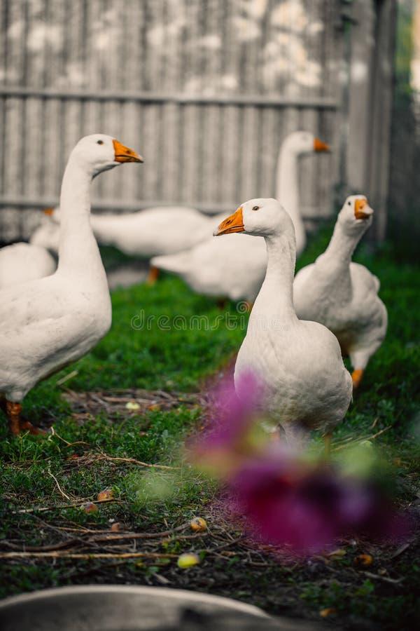 Os gansos em uma vila andam no gramado foto de stock