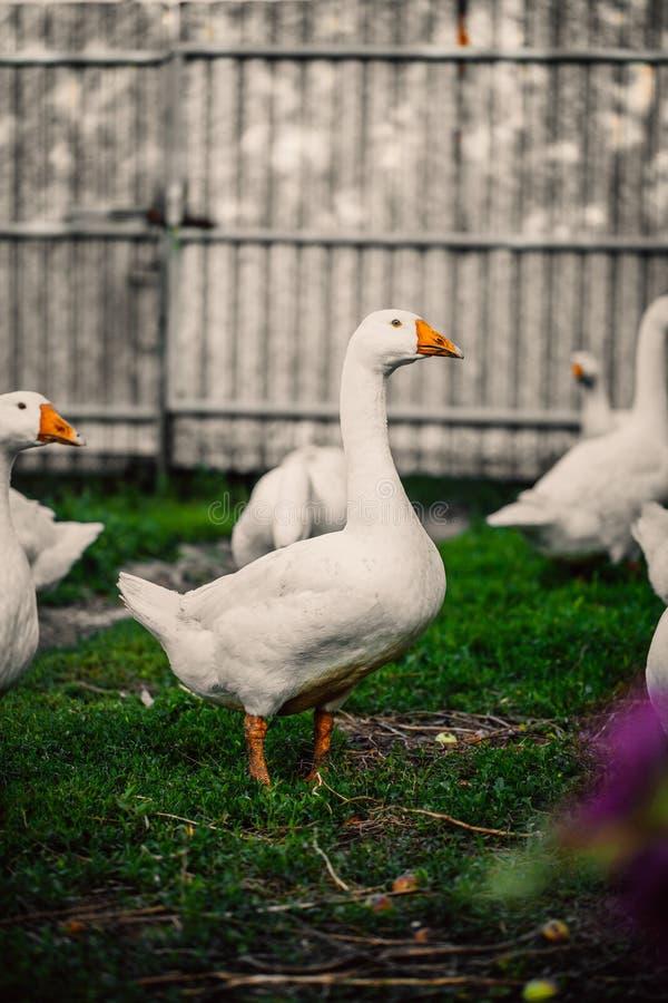 Os gansos em uma vila andam no gramado fotografia de stock royalty free