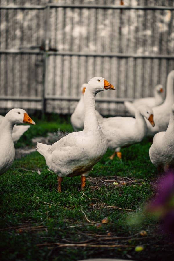 Os gansos em uma vila andam no gramado imagens de stock royalty free
