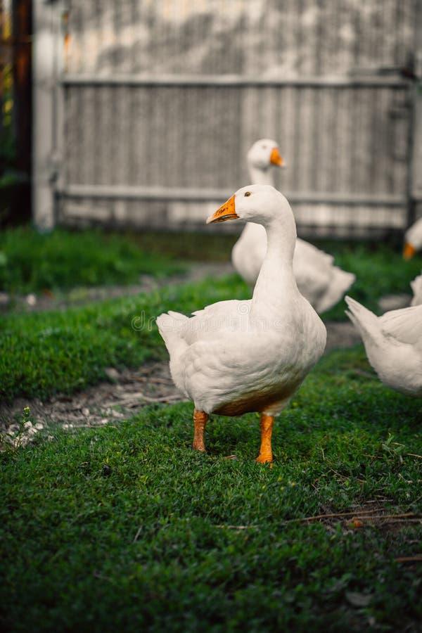 Os gansos em uma vila andam no gramado imagem de stock