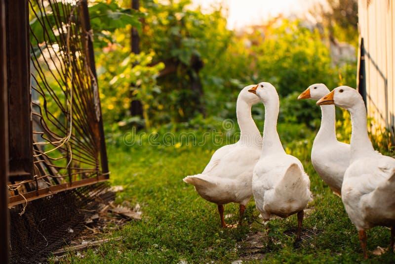 Os gansos em uma vila andam no gramado imagens de stock