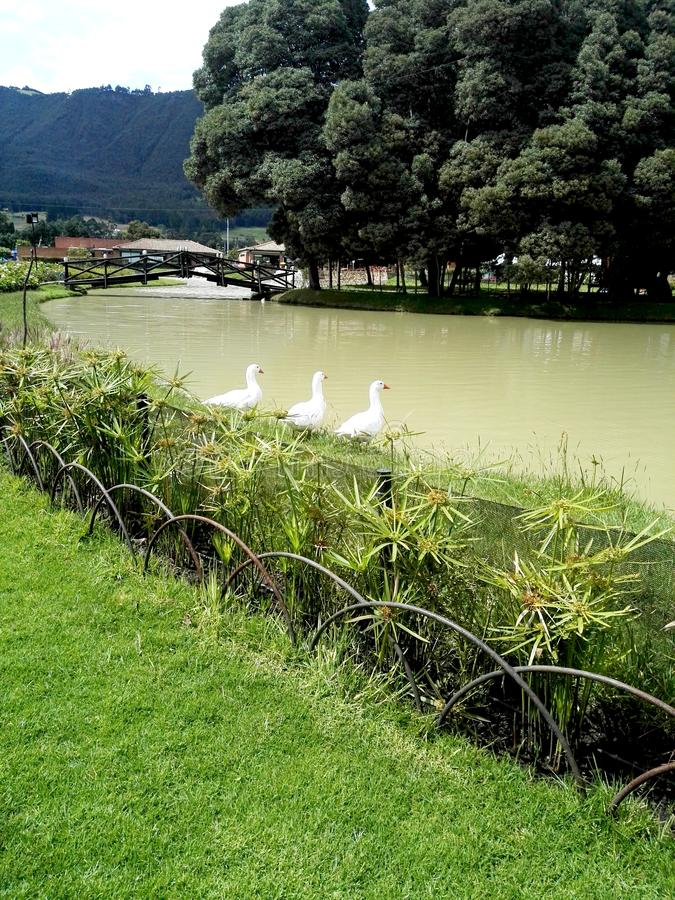 Os gansos na frente da posição do rio gostam imagem de stock