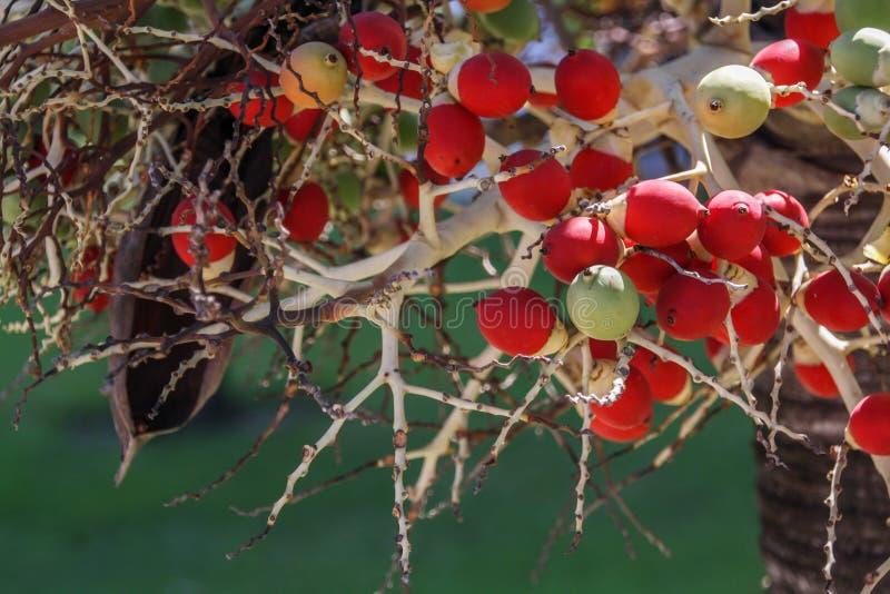 Os gasipaes de Bactris são umas espécies tropicais da palmeira Frutos vermelhos brilhantes na palma Fundo tropical fotos de stock royalty free