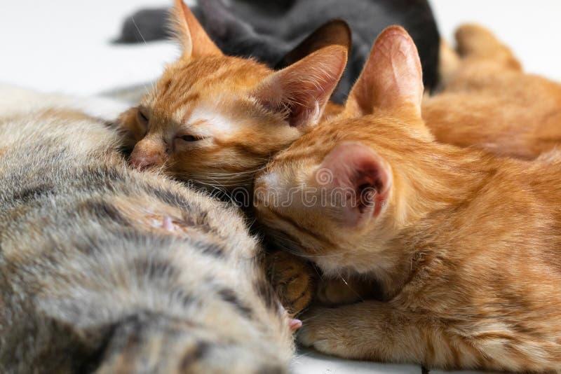 Os gatinhos bebem o leite de sua mãe fotografia de stock