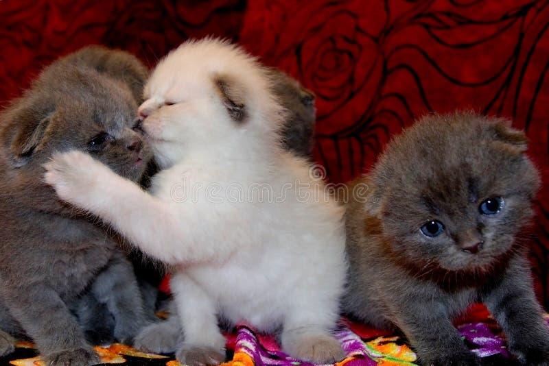 Os gatinhos britânicos pequenos bonitos estão sentando-se no sofá o gatinho abraça e beija o irmão, brincalhões pequenos é jogado foto de stock