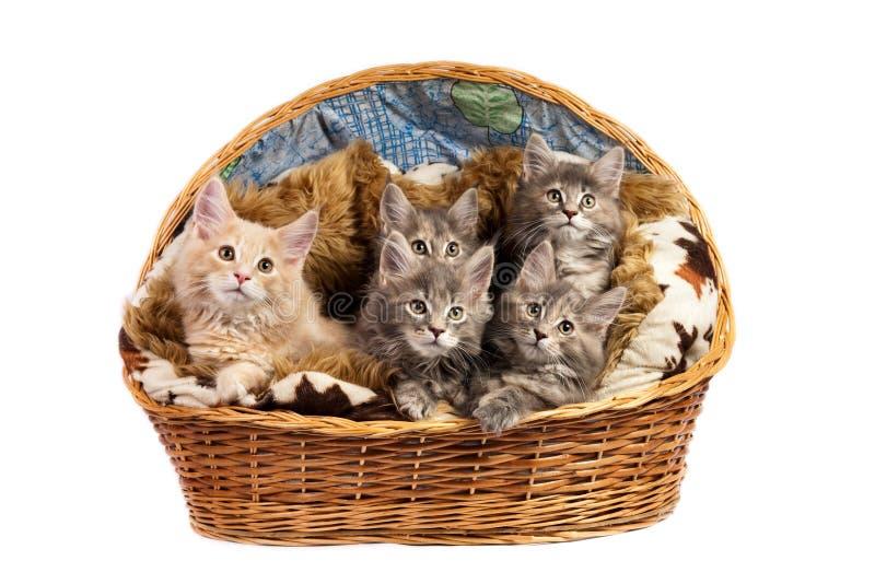 Download Os Gatinhos Do Coon De Maine Imagem de Stock - Imagem de feline, gato: 10053111
