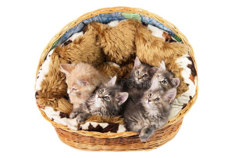 Download Os Gatinhos Do Coon De Maine Imagem de Stock - Imagem de animais, vista: 10054965