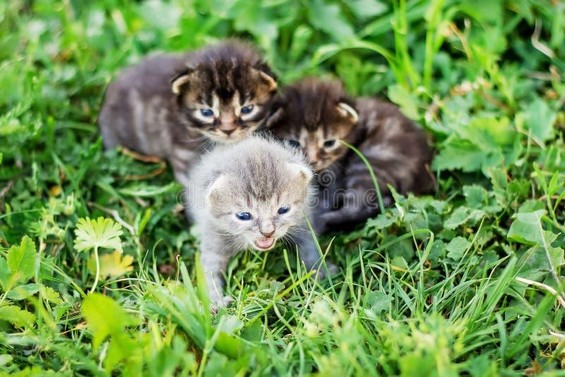 Os gatinhos estão sentando-se na grama verde e estão chamando-se sua mãe Ele foto de stock