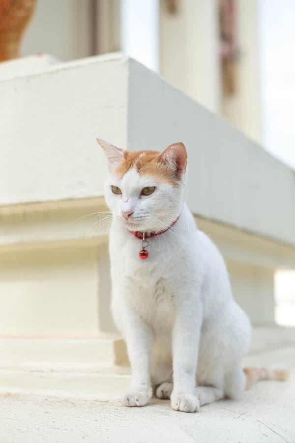 Os gatos brancos vivem no templo imagem de stock royalty free