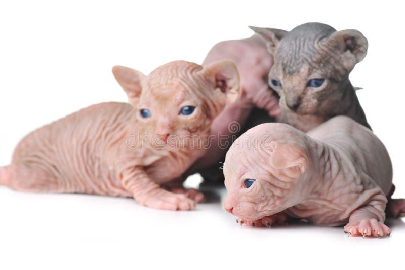 Os gatos calvos bonitos do bebê fecham-se acima fotografia de stock royalty free