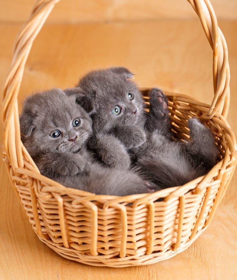 Os gatos cinzentos da dobra do Scottish da cor sentam-se em uma cesta de vime Gatinhos brincalhão Gato de raça pura fotos de stock
