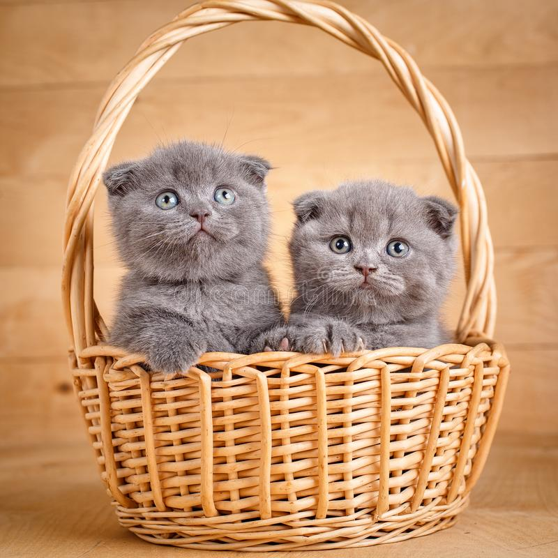 Os gatos cinzentos da dobra do Scottish da cor sentam-se em uma cesta de vime Gatinhos brincalhão Promoção da comida de gato foto de stock
