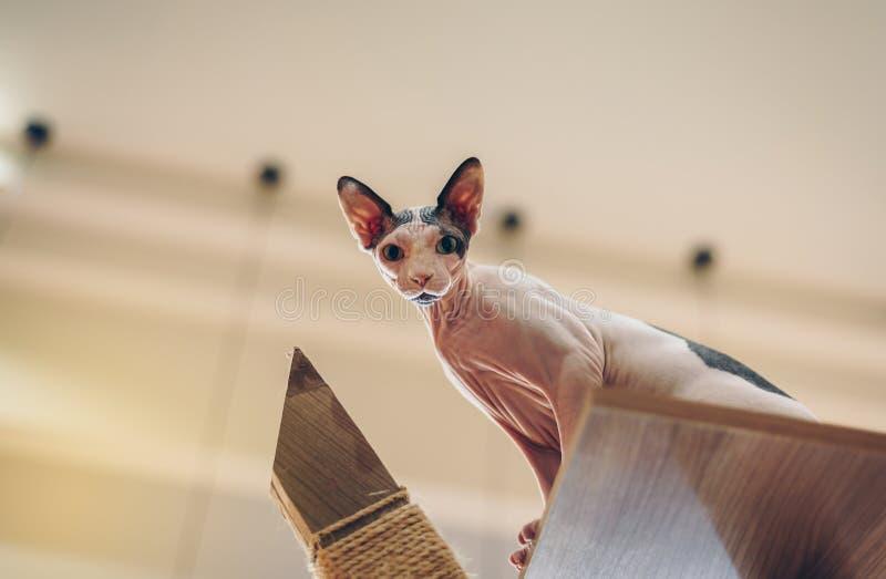Os gatos da esfinge olham bonitos e elegantes, com cabelos curtos foto de stock