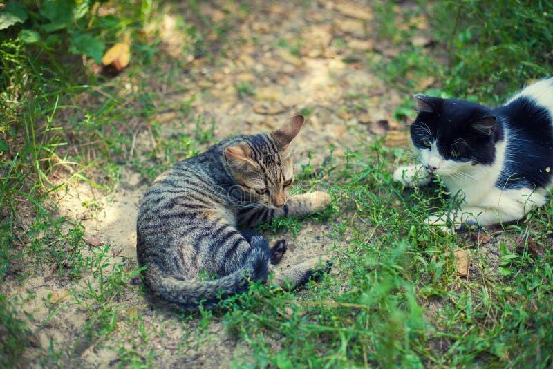 Os gatos preto e branco e listrados colocam na grama na jarda foto de stock royalty free
