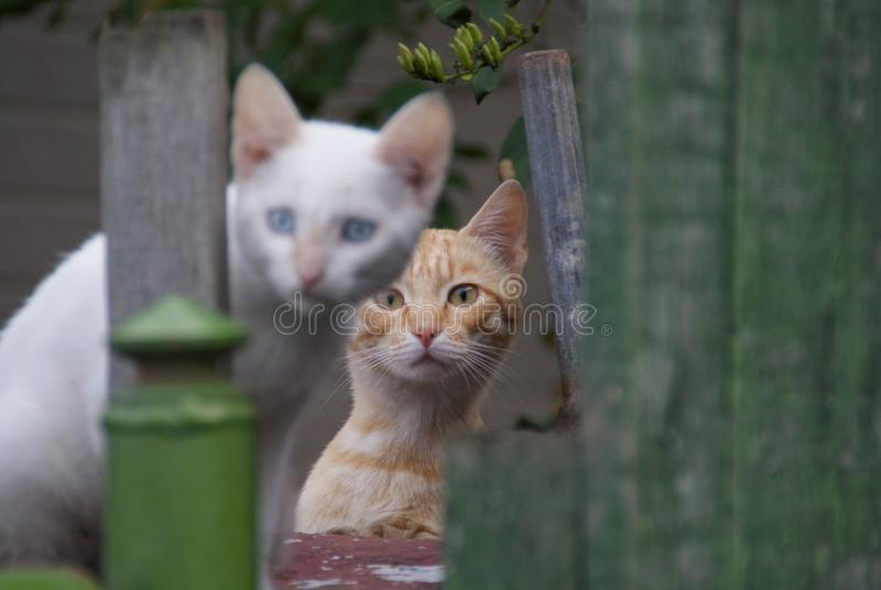 Os gatos vermelhos e brancos olham-no fotografia de stock royalty free