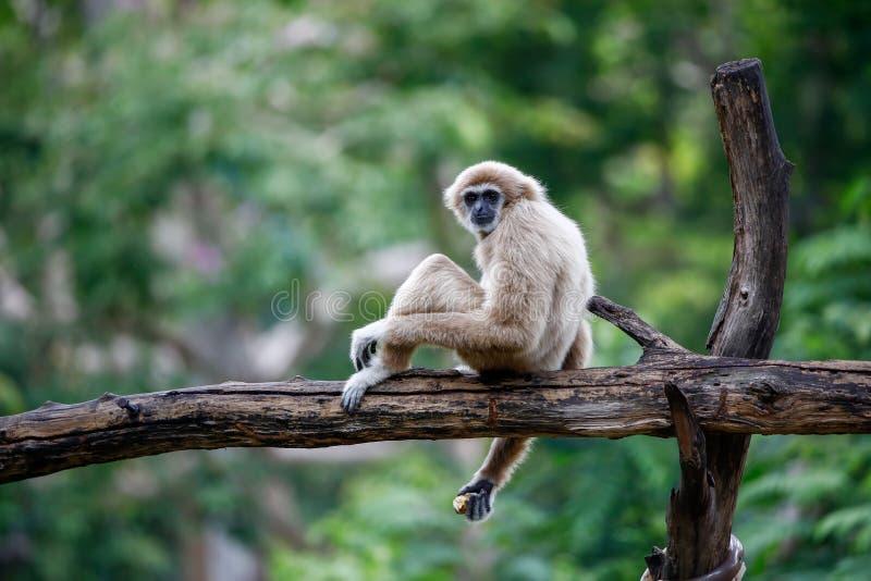 Os gibões estão no jardim zoológico aberto de Khao Kheow, Tailândia fotos de stock