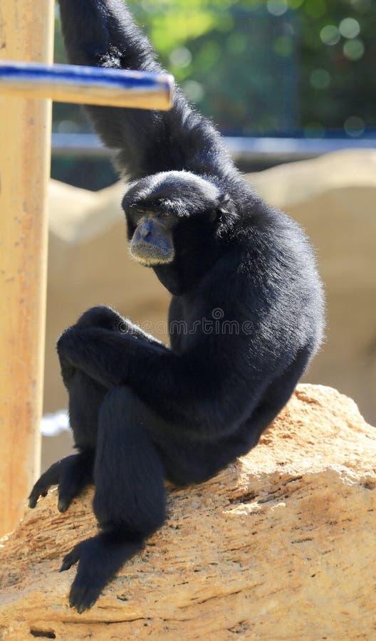 Os gibões imitam preto imagens de stock