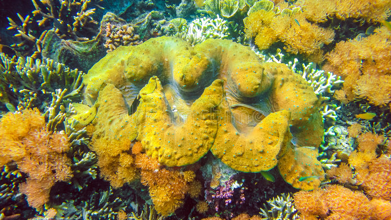 Os gigas coloridos do Tridacna dos moluscos gigantes crescem no raso de Raja Ampat, Indonésia imagens de stock