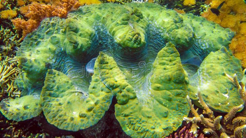 Os gigas coloridos do Tridacna dos moluscos gigantes crescem no raso de Raja Ampat, Indonésia imagens de stock royalty free