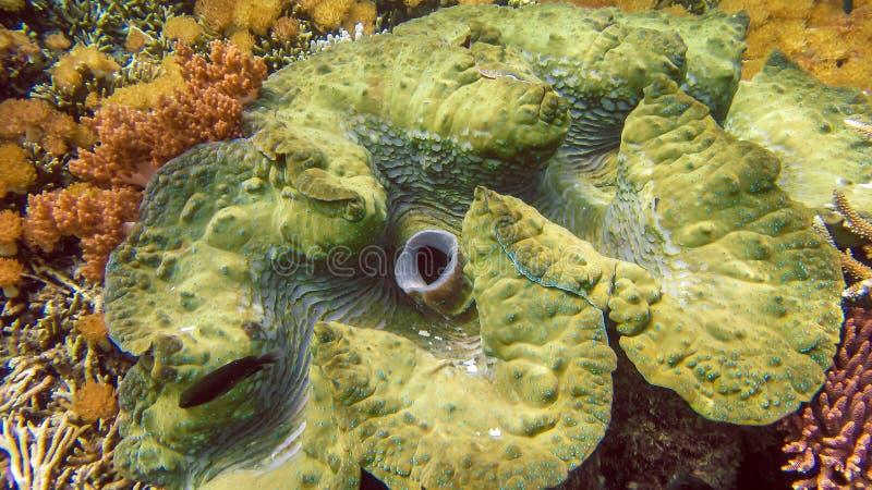 Os gigas coloridos do Tridacna dos moluscos gigantes crescem no raso de Raja Ampat, Indonésia imagem de stock royalty free